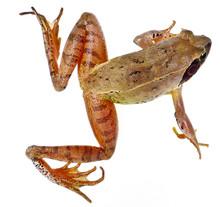 Frog Rana Temporaria