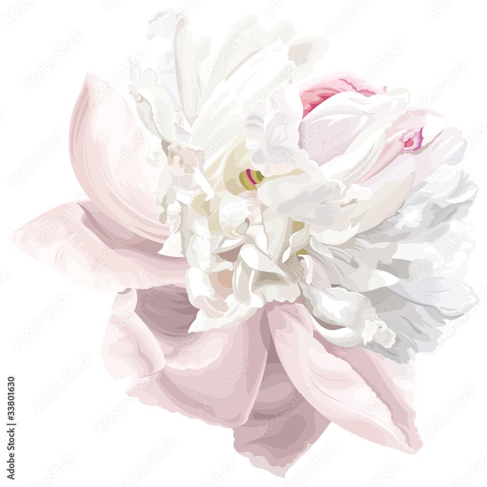 Biała piwonia kwiat