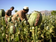 Harvesting Opium, East Afghani...