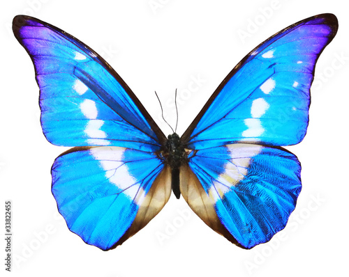 Fototapeta  Blue Butterfly (morpho Rhetenor cacica) isolated