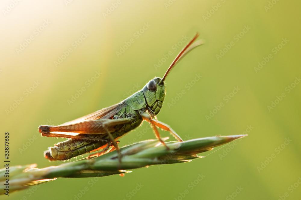 Fotografie, Obraz grasshopper