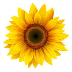 Fototapeta Sunflower isolated, vector.
