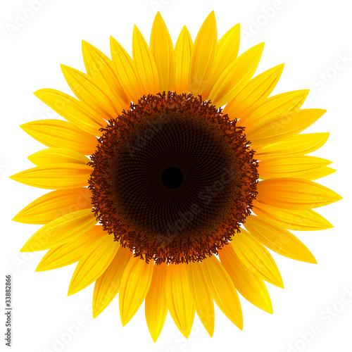 Obraz na plátně Sunflower isolated, vector.