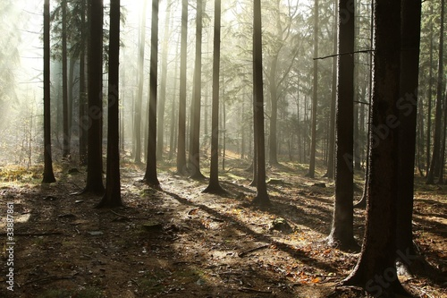 Foto auf Acrylglas Wald im Nebel Coniferous forest lit by the morning sun on a foggy day