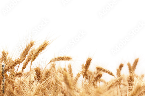 Fotografía  Wheat