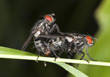 Mating Bluebottle Flies
