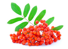 Ashberry With Green Leaves. Is...