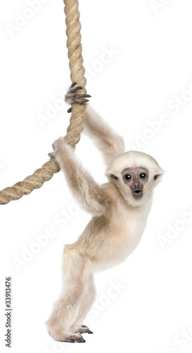 Fotografiet Young Pileated Gibbon, 4 months old, Hylobates Pileatus