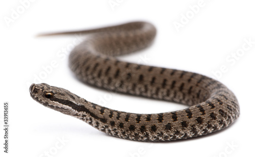 Common European adder or common European viper, Vipera berus Canvas Print