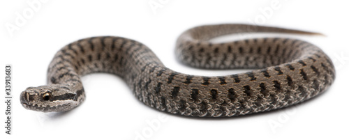 Photo Common European adder or common European viper, Vipera berus