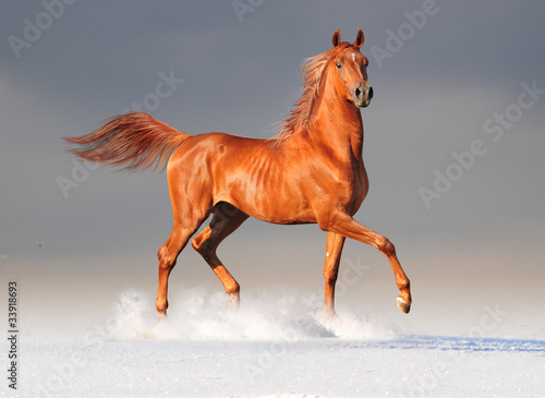 Staande foto Paarden arabian horse in winter