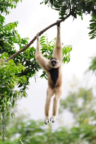 Canvastavla White Gibbon