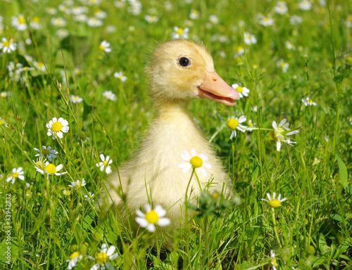 Photo  baby duck