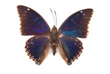 Black And Blue Butterfly Charaxes Bipunctatus Isolated