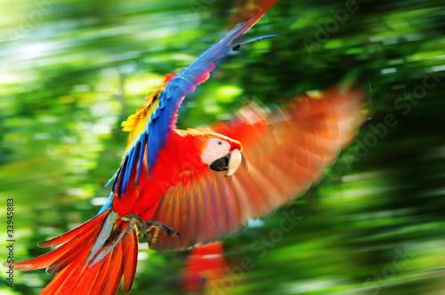 Keuken foto achterwand Papegaai Scarlet macaw in Honduras