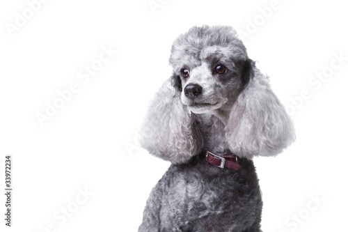 Curious gray poodle on white Poster Mural XXL
