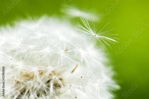 Staande foto Paardebloemen en water タンポポの綿毛