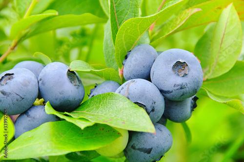 Heidelbeere am Strauch 01- blueberry on shrub 04 Fototapeta