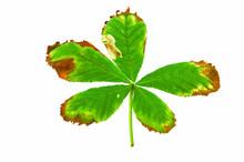 Horse Chestnut Leaf Affected B...