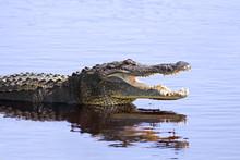 Alligator In The Wild,Upper My...
