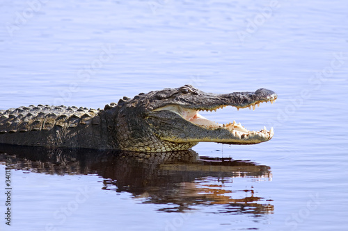 Deurstickers Krokodil Alligator in the wild,Upper Myakka Lake,Sarrasota,Florida