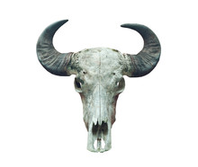 Buffalo Skull On The White.