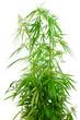 Cannabis sativa. Marijuana plant isolated on white background