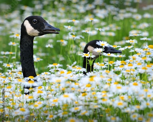 Photo  Canadian geese walking through a field of chrysanthemums