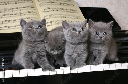 Four British kitten on the piano #34029213
