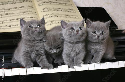 Four British kitten on the piano #34029213