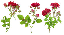 Isolated Red Roses Branches Set