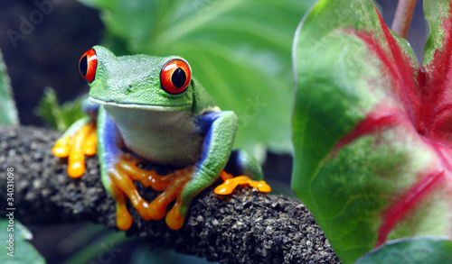 Spoed Foto op Canvas Kikker Red-Eyed Tree Frog