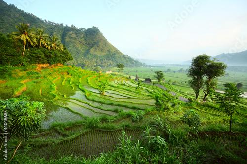Garden Poster Rice fields Rice