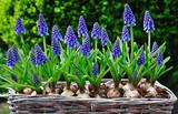 Blue flowering Grape Hyacinths in a basket