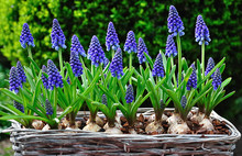 Blue Flowering Grape Hyacinths In A Basket