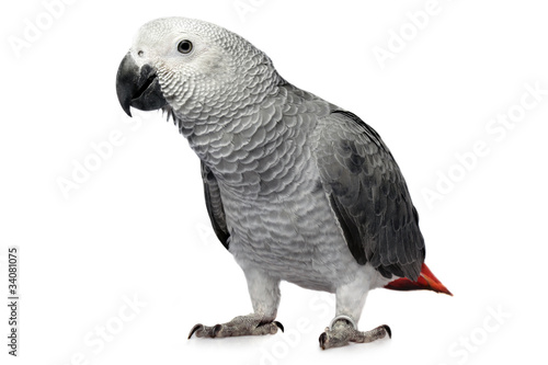 Poster Papegaai parrot isolated on white