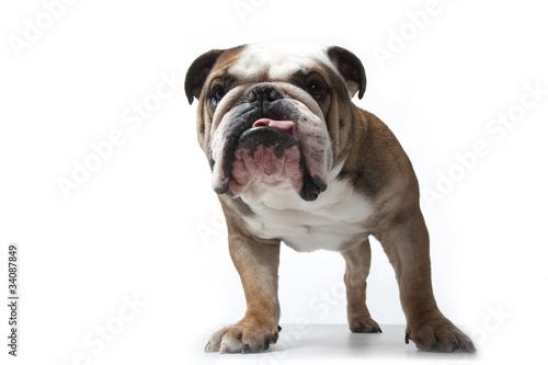 Portrait De Face Du Bulldog Anglais Buy This Stock Photo And