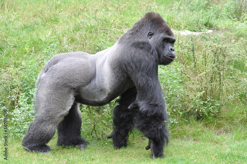 Photo  Gorilla