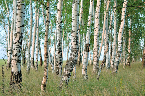 Foto op Plexiglas Berkbosje Birch forest