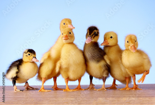 Fotografia  Little yellow fluffy ducklings on blue background