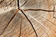 Holz. Ein Querschnitt durch einen Baumstamm