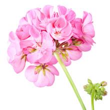 Rose Geranium Isolated On A White Background