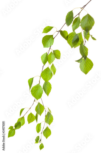 Fototapeta Graceful birch twig in backlight obraz