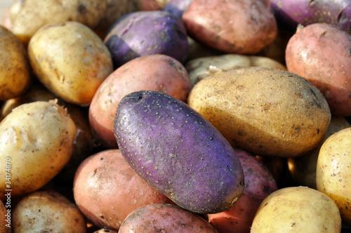 Fotografie, Obraz  different potatoes after the harvesting