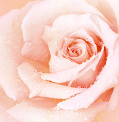Fototapeta Róże Pink wet rose background
