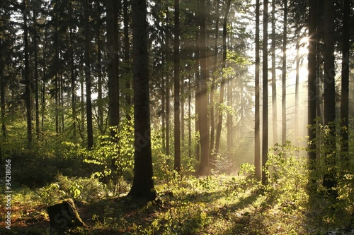 Foto auf Acrylglas Wald im Nebel Misty coniferous forest backlit by the morning sun