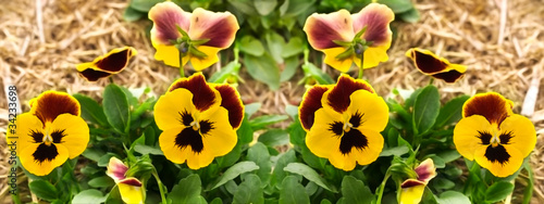 Poster Pansies yellow pansy flowers garden border