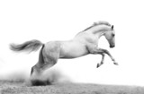 Fototapeta Horses - silver-white stallion on black
