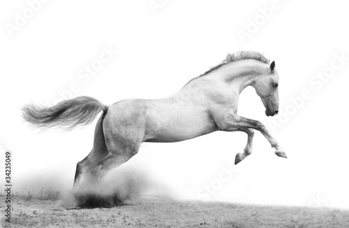 Fotografie, Obraz  silver-white stallion on black