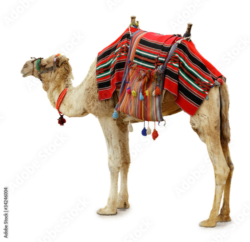Deurstickers Kameel camel
